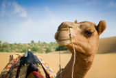 Camel looking in lens. — Stock Photo