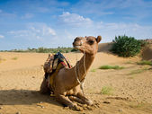 Camel sitting on a desert — Stock Photo