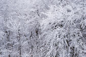Snow-covered tree branches — Stock Photo