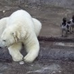Polar bear — Stock Photo #29379263