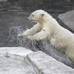 Polar bear — Stock Photo #29379323
