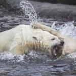 Polar bears — Stock Photo #29379367