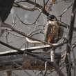 Sparrowhawk — Stock Photo