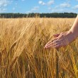 Walking in wheat field — Stock Photo