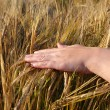 Hand and wheat crop — Stock Photo