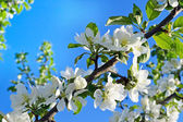 Apple blossoms on a branch — Stock Photo