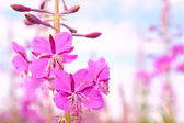 Flowers Fireweed — Stock Photo