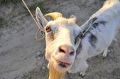 Smeshnaya goat smotryt you — Stock Photo