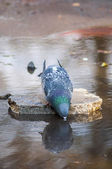 Tired pigeon drinking water — Stock Photo