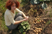 Harvesting potatoes — Stock Photo