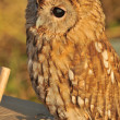 Stock Photo: Tame owl