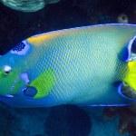 Queen angelfish — Stockfoto