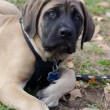 Mastiff Puppy — Stock Photo