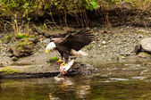 Bald Eagle Fishing 1 — Stock Photo