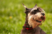 Miniature schnauzer dog portrait — Stock Photo