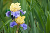 Two wet yellow and blue irises on a green leaves background — Stock Photo