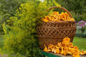 Basket of chanterelles and dill on the bench — Stock Photo