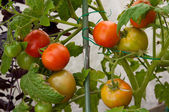 Growing red and green tomatoes on a plant — Stock Photo