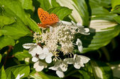Butterfly on the white hydrangea — Stock Photo