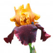 Yellow and violet wet iris — Stock Photo