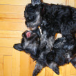 Laying and playing two schnauzer puppies top view — Stock Photo