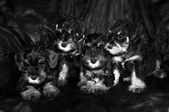 Four schnauzer puppies laying and sitting on the on black background — Stock Photo