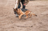 Training the alsatian dog running after the rope — Stock Photo