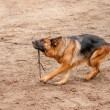 Alsatian dog playing and pulling the rope — Stock Photo