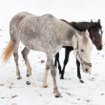 Two horses dapple-grey and dark walking on the snow — Stock Photo