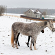 Foto Stock: Two horses dapple-grey and dark walking on snow