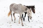 Two horses dapple-grey and dark walking on the snow — Стоковое фото