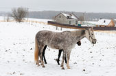 Two horses dapple-grey and dark walking on the snow — Stok fotoğraf