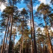 View on the pine trees trunks in the forest — Stock Photo #42475241