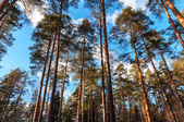 View on the pine trees trunks in the forest — Stock Photo
