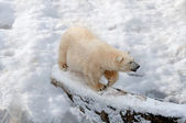 Polar bear walking on the snow — Foto de Stock