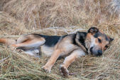 German shepherd dog laying on the hay — Stock Photo