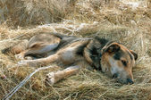 German shepherd dog laying on the hay — Stock Photo