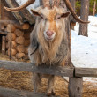 Goat standing on the fence near his house — Stock Photo