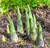 Hosta sprouts in spring close up — Stock Photo