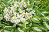 Bouquet of chamomilies at the yellow hosta plant — Stockfoto