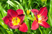 Red hemerocallis flowers — Stock fotografie