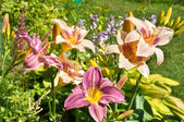 Hemerocallis flowers postcard — Stock fotografie