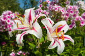 Pink lily flowers blooming on the garden — Foto de Stock