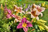 Daylily light violet beautiful flowers postcard — Stock Photo