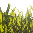 Corn field foliage close-up at the sunset — Stock Photo