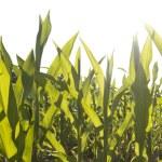 majs fältet bladverk närbild på solnedgången — Stockfoto