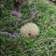 Common Puffball or Devil's Snuff-box in green moss. No.01 — Stock Video #38630861