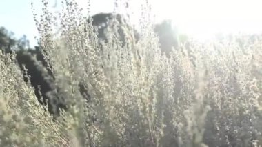 The Field in Sunlight. Autumn. Glow sunshine. Backlit toned in warm colors. — Stock Video
