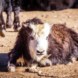 Yak at Tibet — Stock Photo