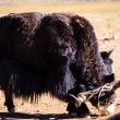 Yak Attack — Stock Photo